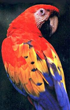 Scarlet Macaw  Grandmother to baby macaws  All photos at   http://needleweaver.com/BabyHybridMacaws1101.html