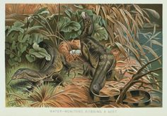 Water-Monitors Robbing a Nest. From New York Public Library Digital Collections.
