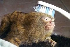 This Adorable Pygmy Marmoset Is Having a Better Weekend Than You