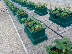 cultivo de fresas en sistema hidroponico de autopot mas informacion aqui http
