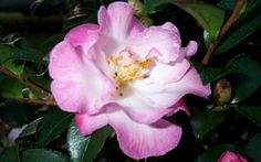 Small flowers appear in great profusion in fall on this compact conical camellia. These brilliant blooms are semi-double white to blush with orchid-pink highlights. Small Flowers, Colorful Flowers, Beautiful Flowers, Camellia Plant, Foundation Planting, Plant Order, Pink Highlights, Evergreen Shrubs, Flowering Shrubs