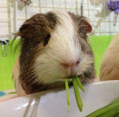 Guinea pig - veggie monster!