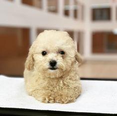 Puppies Available   Gorgeous Puppies Mini Goldendoodle Puppies, Shih Tzu Puppy, Chihuahua Puppies, Pomeranian Puppy, Bulldog Puppies, Mini Doberman, Doberman Pinscher Puppy, Mini Dachshund, Buy Dogs Online