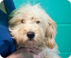 87 Best Wheaten Terrier Mix Images Wheaten Terrier Mix
