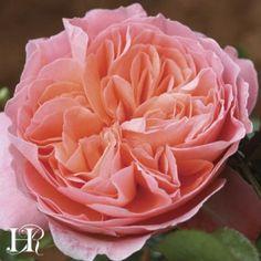 Pink Abundance™