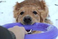 Enter to win a Puller dog toy/training device at MyDogLikes!  3 readers will win!