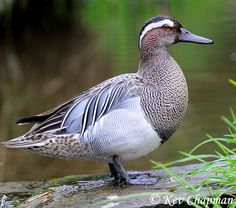 Garganey (Anas querquedula) is a small dabbling duck. It breeds in much of Europe and western Asia, but is strictly migratory, with the entire population moving to southern Africa, India (in particular Santragachi), and Australasia in winter, where large flocks can occur.