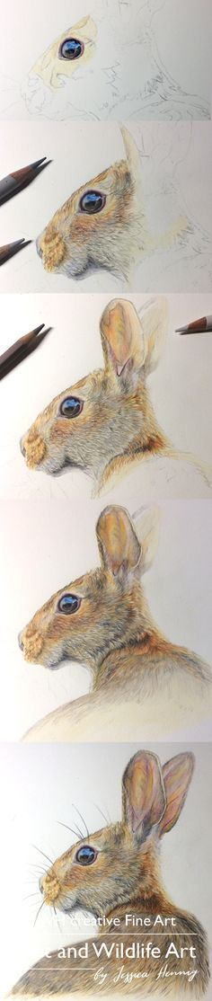 Coloured Pencil Drawing of a Hare. Step by Step drawing process. Pet and Wildlife art drawings by JVH creative Fine Art. The finished Wildlife drawing of Dunja the Hare is available as Limited Edition Gicleé Print from my Website.