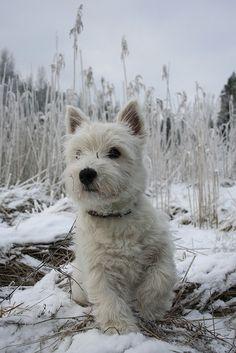 Westie snow dog