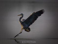 Blue Heron landing (Wild wonders of Holland) by Menno Dekker on 500px