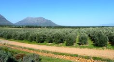 Porterville Olive Groves, home of Andante olive oils, in the Swartland, South Africa.