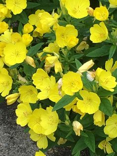 Oenothera fruticosa (sundrops) - yellow and orange garden, center right, right front Garden Pictures, Orange, Yellow, June, Plants, Gold