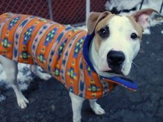 TO BE DESTROYED - 02/21/15 Manhattan Center -P  My name is TITAN. My Animal ID # is A1027206. I am a neutered male white and tan am pit bull ter and germ shepherd mix. The shelter thinks I am about 9 MONTHS old.For more information on adopting from the NYC AC&C, or to  find a rescue to assist, please read the following: http://urgentpetsondeathrow.org/must-read/