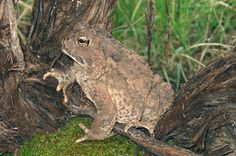 Woodhouse Toad (Anaxyrus woodhousii)