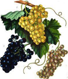 """Grapes in """"Annales de pomologie belge et étrangère, vol 5, 1857"""" #Booktower"""