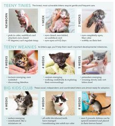 Cat Care Kittens This a great kitten age/growth chart! Kitten Care Newborn, Newborn Kittens, Baby Kittens, Cats And Kittens, Caring For Kittens, Raising Kittens, Cats Meowing, Siamese Kittens, Foster Cat