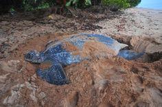 Leatherback schildpad legt eieren op het strand