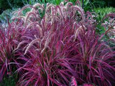 """PURPLE FOUNTAIN GRASS:Upright arching. Waves of gracefully nodding soft purple plumes arch up and out from burgundy-tinted foliage in true fountain grass form. This variety is especially dramatic in clusters, mass plantings, or along slopes. A favorite for fresh or dried arrangements. Pest and disease-free.    """"A Real Simple magazine - Top 10 goofproof Plant""""    Features  Bronze-purple foliage topped with graceful arches of burgundy-toned seed heads    Award Winner  Heat Tolerant"""