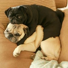 """cute pug puppies See our web site for even more relevant information on """"chinese pugs"""". It is an outstanding area to get more information. Cute Pug Puppies, Black Pug Puppies, Dogs And Puppies, Cute Dogs, Cutest Puppy, Terrier Puppies, Bulldog Puppies, Doggies, Boston Terrier"""