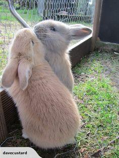 FLEMISH GIANT RABBIT KITS - Baby bunnies | Trade Me