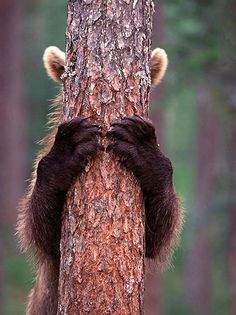 OK....you can come look for me now!  ✯ Brown Bear Cub Hiding Behind the Tree. At Suomussalmi, Finland .. Photo by Jari Petromaki✯