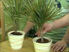 Pestovanie kvetov - Dracena, Cordyline, Yucca - ako sa starať o kvety - VIDEO Ako sa to robí.sk