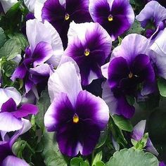 Pansy Swiss Giant Beaconsfield Flower Seeds (Viola x Wittrockiana) 50+Seeds - Under The Sun Seeds  - 2