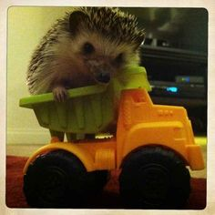 Henry does cute things. Like ride in his toy truck. | Ever Seen A Dreaming Hedgehog?
