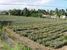 Pineapple Farm on the island of Dominica