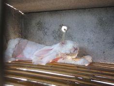 Découvrez comment les lapins sont traités dans ces élevages à angora « humains »