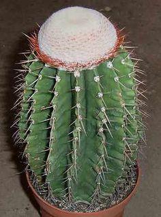 Melocactus schatzlii 18cm RARE CACTUS PLANT