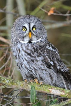 Great Grey Owl                                                                                                                                                                                 More