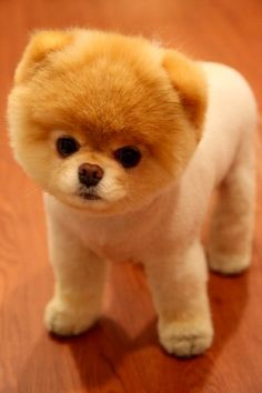 boo the dog.the cutest dog ever Boo The Cutest Dog, World Cutest Dog, Cutest Dog Ever, Cutest Puppy, Cutest Pets, Cute Puppies, Cute Dogs, Dogs And Puppies, Doggies