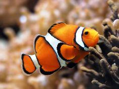Clown Fish Wallpaper iPhone And Desktop Background Tier Wallpaper, Animal Wallpaper, Painting Wallpaper, Wallpaper Wallpapers, Underwater Creatures, Ocean Creatures, Underwater Fish, Colorful Fish, Tropical Fish