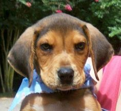 Black & Tan Coonhound mix M named Ranger in Monrorville, AL @ Monroe County Animal Shelter