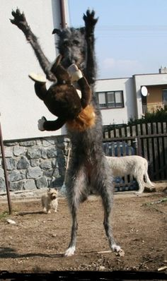scottish deerhound playing ...........click here to find out more http://googydog.com