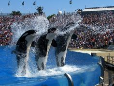 Nakai, Kasatka and Orkid. After my 2011 trip, I made a promise to never step foot past the front gates of a Sea World ever again. No way are they going to treat wild animals like this and get my support. Hell no.
