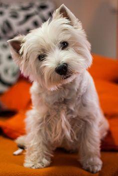 Nieve Beautiful Dogs, Animals Beautiful, Cute Animals, Pet Dogs, Dog Cat, Chihuahua Dogs, Doggies, Prager Rattler, Cute Puppies