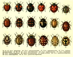 types of ladybugs