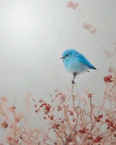 Bluebird of happiness. They are real! Ana Rosa