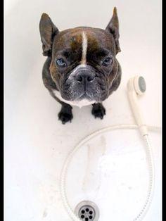 French Bulldog in the Bath, not terribly happy