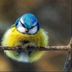 A very fluffy Blue Tit