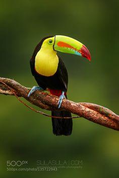 Keel-billed Toucan | Costa Rica by PetrBambousek via http://ift.tt/1RHmUr1