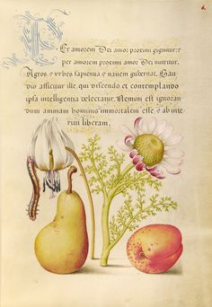 """Caterpillar, Dog-Tooth Violet, Pear, and Apricot,"" 1561 - 1562; illumination added 1591 - 1596, Flemish and Hungarian. Watercolors, gold and silver paint, and ink on parchment."