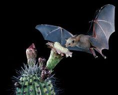 night blooming cactus and bat