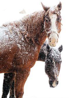 Beautiful horses in snow...