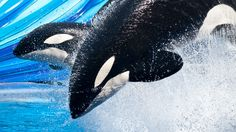 One Ocean All New Shamu Show | SeaWorld Orlando