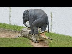 Amazing Elephant Save Baby Elephant From Crocodile Hunting | Animals Hunting Fail - YouTube