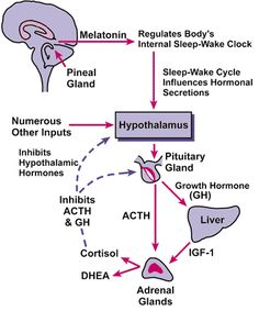 Pineal Gland Melatonin Hormone