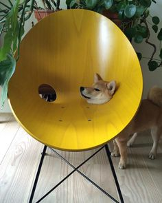 Funny Pics: PsBattle: Shiba Inu with head through chair Shiba Inu, Animals And Pets, Funny Animals, Cute Animals, Funny Animal Pictures, Best Funny Pictures, Funniest Photos, Animal Pics, Funny Images
